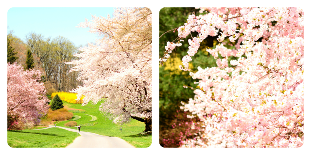 Cherry Blossoms - Winterthur, Delaware